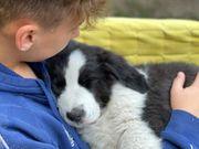 Landseer x Australian Shepherd Welpe