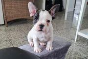 Der kleine Oskar Franz Bulldogge