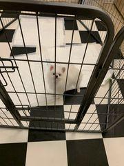 Pomeranian Mini-Weiß -Rüde