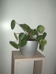Ufopflanze Pilea peperomioides Glückstaler Bauchnabelpflanze