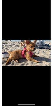 Junge Chihuahua-Zwergspitz Hündin