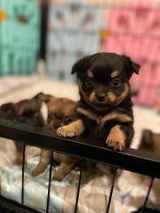 Süße Langhaar Chihuahua Welpen suchen