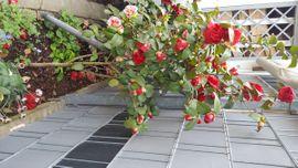 Pflanzen - Kamelie rot gefüllt
