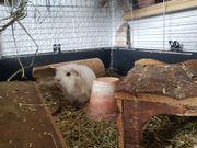 Meerschweinchenbabys zu verschenken