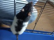 Junge Ratten
