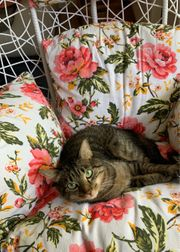 Suche kurzhaar Kitten weiblich zu