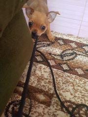 Mini Chihuahua Welpen Mix