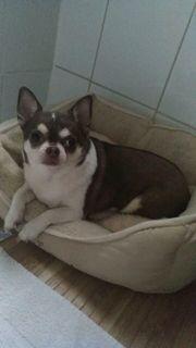 Süße 4jährige Chihuahua Princessin sucht