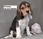 Wunderschöne Beagle Welpen zu verkaufen