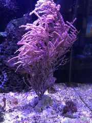 Meerwasser große Gorgonia 35 cm