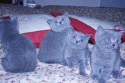 BKH Kitten Kätzchen mit Stammbaum