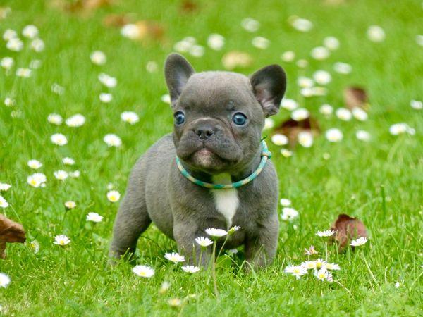 Französische Bulldoggen blue, mit Ahnentafel, Isabellaträger