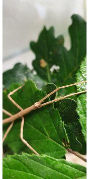 Stabschrecken Medauroidea extradentata