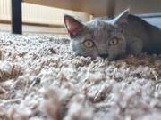 BKH Kitten männl ca 17