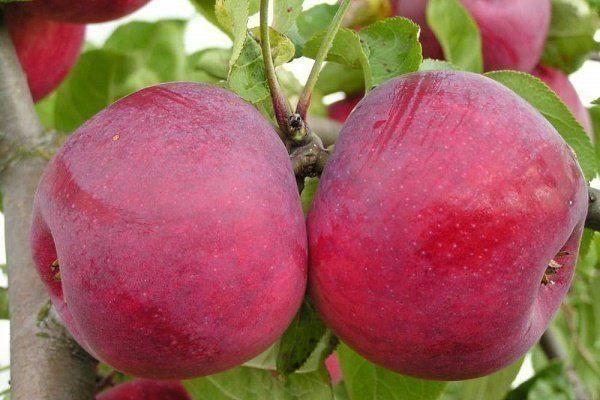 Obstbäume Hoch-Halbstamm oder Buschbäume