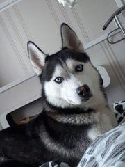 Deckrüde Siberien Husky kein Verkauf