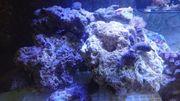Lebendgestein Meerwasser Steine Aquarium