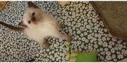 Himalaya Katzenbabys