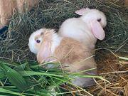 Junge Zwerg- Widder Kaninchen