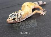 Leopardgeckos Hypo Tangerine