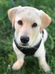 Bildschöner Labrador Retriever Welpe