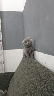 Baby kitten BKH