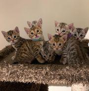 Bengal Katzenbabys in mit Stammbaum