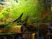 schöne Portion Javamoos Vesicularia dubyana