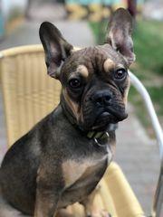 Französische Bulldoggen männlich weiblich 6