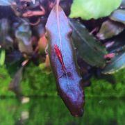 Bucephalandra Ghost Browni