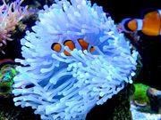 Meerwasser Anrmone Heteractis Malu
