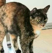 Katze Luna vermisst in Fußach