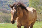 Toller Quarter Horse dunskin Hengst