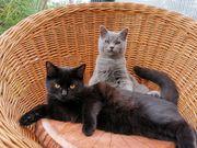 BKH Kitten in blue black
