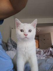 BKH Kitten Weiss mit blauen