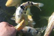 Koi Karpfen Jungfische 2 jährig