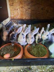 zwerghasen zwergkaninchen hasen kaninchen