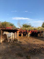Offenstall Offenstallplatz Kleinpferde Ponys