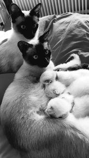 Siam Birma kittens edelmix