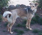 Mischlingshund 2 Jahre alt