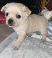 Pomeranian Zwergspitz x Chihuahua Welpen