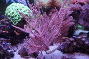 Meerwasser Korallen Ableger Zoas und