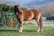 Vielseitiger Ponywallach sucht ein neues
