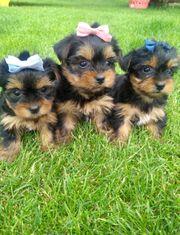 Yorkshire Terrier Welpen