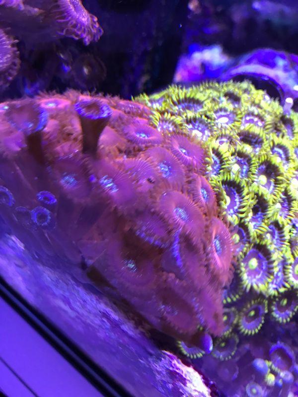 Meerwasser Korallen Zoanthus Magician