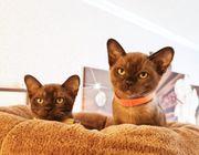 Burma-Kitten