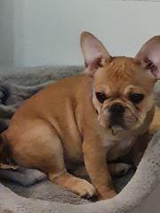 Französische Bulldogge Welpe zu verkaufen