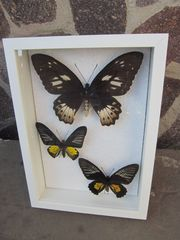 Schmetterlinge echt im Rahmen 3