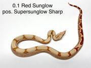 Boa Constrictor Imperator Sharp Linie