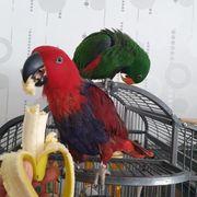 Neuguinea Edelpapagei Zuchtpaar